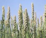 Thải sỏi mật tại nhà bằng thảo dược