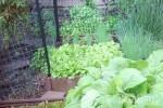 Bà mẹ Việt sở hữu mảnh vườn đủ rau sạch ăn quanh năm ở Mỹ