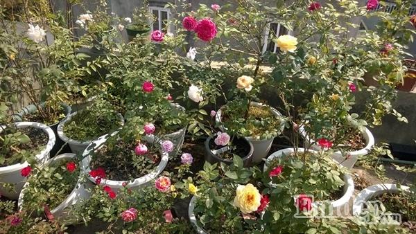 Những lưu ý cần nhớ khi trồng hồng trên sân thượng