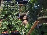 Mê mẩn vườn 20m2 vẫn trồng đủ loại rau nhờ chế tháp thông minh