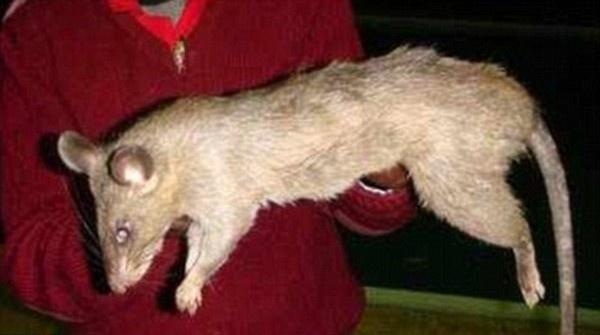 Mách mẹ cách xử lý và phòng ngừa trẻ bị chuột cắn