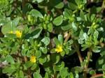 Bài thuốc trị sỏi thận hữu hiệu từ rau sam