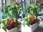 Mẹo trồng cà chua siêu đơn giản, vừa sạch lại vừa an toàn