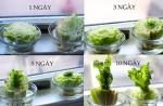 8 loại rau bạn chỉ cần mua 1 lần, lần sau ăn là có ngay tại nhà