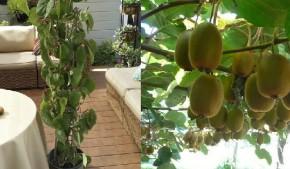 Cách trồng Kiwi đơn giản tại nhà, tha hồ ăn sướng miệng