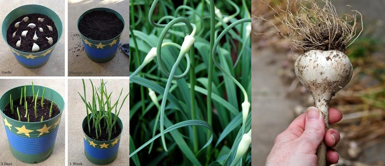 Chị em nội trợ nên học cách trồng tỏi tại nhà cho củ to tròn, ăn cả năm chả hết
