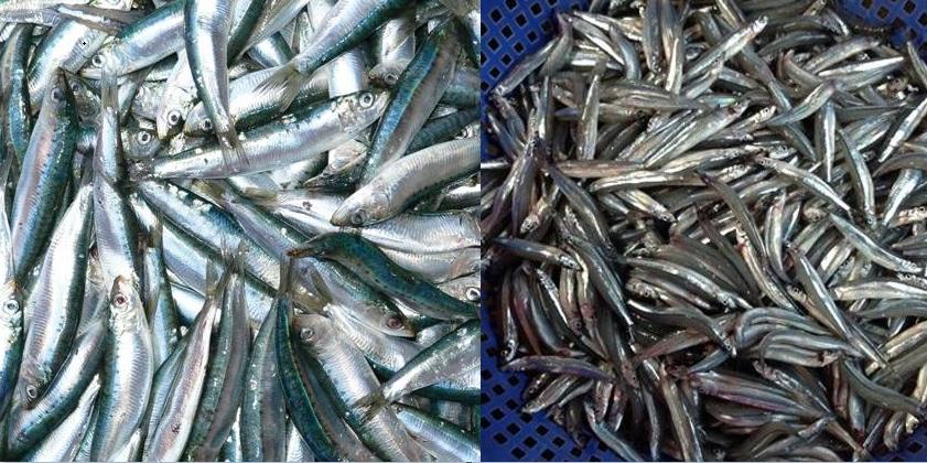 7 loại cá được chứng minh giàu Omega-3 bậc nhất, mẹ bầu ăn cật lực 3 tháng cuối thai nhi tăng chất xám vượt trội