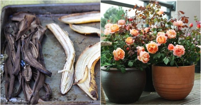 Phơi khô vỏ chuối vùi xuống đất, sau 5 ngày cây HỒNG yếu cỡ nào cũng nở hoa trĩu trịt