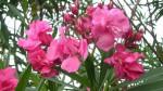 Những loại hoa không tốt cho bà bầu, mẹ tuyệt đối không được tiếp xúc