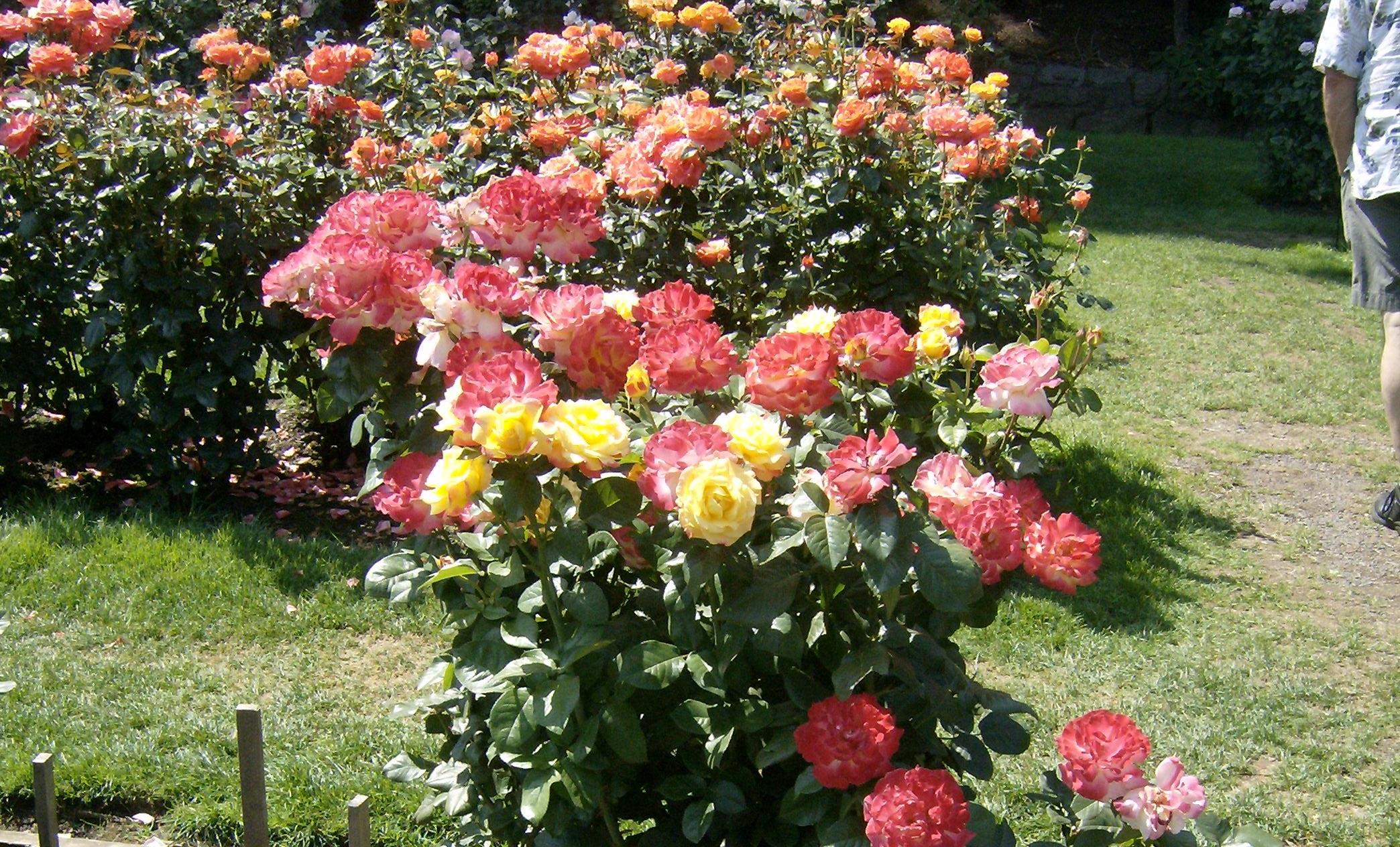 Cách trồng và chăm sóc hoa hồng để cây cho nhiều hoa nhất
