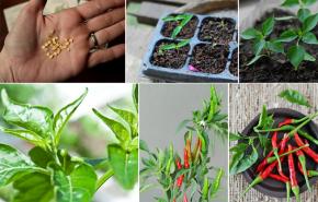 Tự trồng ớt cho nhà thêm đẹp cơm thêm ngon